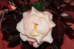 Roses rose-clair Photos stock