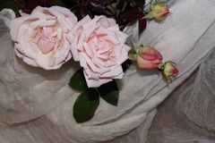 Roses rose-clair Images stock