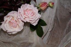 Roses rose-clair Photo libre de droits