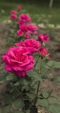 The roses. Rose rose can be used in cosmetic, it is a new generation of beauty tea, it has obvious elimination effect to freckles, wrinkles, but also had many Royalty Free Stock Photo