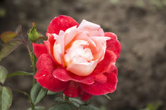 The roses. Rose rose can be used in cosmetic, it is a new generation of beauty tea, it has obvious elimination effect to freckles, wrinkles, but also had many Royalty Free Stock Photography