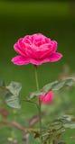 The roses. Rose symbol has long beautiful and love. Ancient Greek and Roman symbol with roses and their love of Aphrodite (Aphrodite), Venus (Venus). Rose in Stock Photo