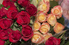 Roses. A rose is a woody perennial of the genus Rosa, within the family Rosaceae. There are over 100 species and thousands of cultivars. They form a group of Stock Photography