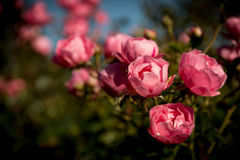 Roses. Rosebush blooming with pink flowers royalty free stock photo