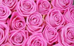 Roses roses Image libre de droits