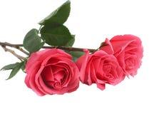 Roses roses Photographie stock libre de droits