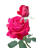 Roses roses Photos libres de droits