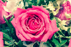 Roses roses Image stock