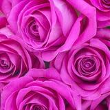 Roses roses Photos stock