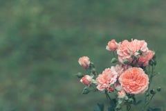 Roses roses Photo libre de droits