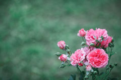 Roses roses Photo stock