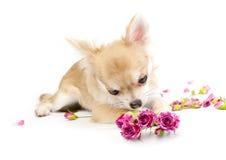 Roses roses admiratives de chiot doux de chiwawa Images libres de droits