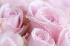 Roses roses avec la rosée photographie stock libre de droits