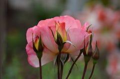 Roses roses avec les bourgeons jaunes et oranges photographie stock