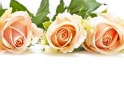 Roses roses d'isolement sur le blanc Image libre de droits