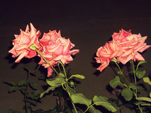 Roses roses dans l'obscurité Photo libre de droits