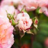 Roses roses dans le jardin Images libres de droits