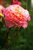 Roses roses dans le jardin Photos libres de droits