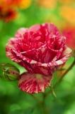 Roses roses dans le jardin Image libre de droits