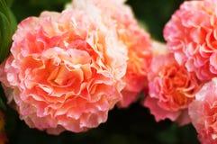 Roses roses dans le jardin Photos stock