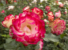 Roses roses dans le jardin, fond de tache floue des roses Photos libres de droits