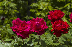Roses, roses for the day of love, the most wonderful natural roses suitable for web design, love symbol roses Stock Photos