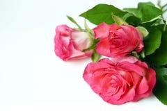 Roses roses de bouquet en rosée de baisse Fleurs fraîches de jardin sur le blanc Photo libre de droits