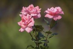 Roses roses de floraison Photographie stock libre de droits