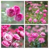Roses roses de floraison Photos libres de droits