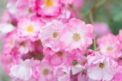 Roses roses de floraison Photographie stock