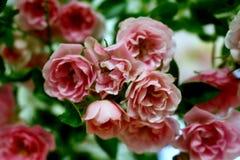 Roses roses de floraison Image libre de droits