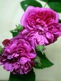 Roses roses de floraison avec des boutons de rose Photographie stock libre de droits