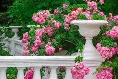 Roses roses de floraison contre un vase en pierre blanc Image libre de droits