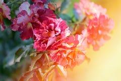 Roses roses de fond Images libres de droits