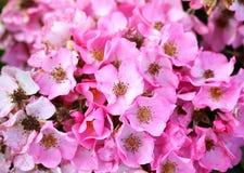 Roses roses de fond Image libre de droits