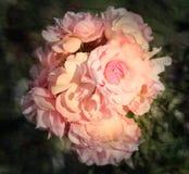 Roses roses de fond Photo libre de droits