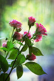 Roses roses de jet Image libre de droits