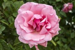 Roses, roses de symbole d'amour, roses roses pour le jour d'amants, roses naturelles dans le jardin Photo libre de droits