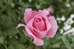 Roses, roses de symbole d'amour, roses roses pour le jour d'amants, roses naturelles dans le jardin Photo stock