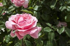 Roses, roses de symbole d'amour, roses roses pour le jour d'amants, roses naturelles dans le jardin Images stock