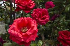Roses, roses de symbole d'amour, roses roses pour le jour d'amants, roses naturelles dans le jardin Image libre de droits