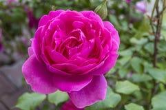 Roses, roses de symbole d'amour, roses roses pour le jour d'amants, roses naturelles dans le jardin Photographie stock libre de droits