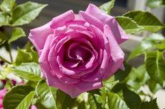 Roses, roses de symbole d'amour, roses roses pour le jour d'amants, roses naturelles dans le jardin Image stock