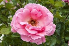 Roses, roses de symbole d'amour, roses roses pour le jour d'amants, roses naturelles dans le jardin Photos libres de droits