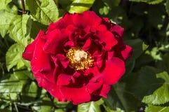Roses, roses de symbole d'amour, roses rouges pour le jour d'amants, roses naturelles dans le jardin Images stock