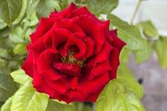 Roses, roses de symbole d'amour, roses rouges pour le jour d'amants, roses naturelles dans le jardin Photographie stock libre de droits