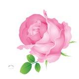 Roses roses de vecteur Photos libres de droits