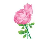 Roses roses de vecteur Image stock