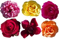 Roses. png. royalty free stock photography