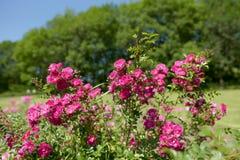 Roses roses en parc Paysage d'été avec les roses de floraison Images stock